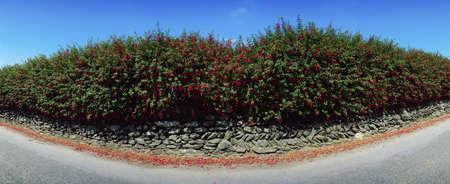 panoramics: Fuchsia growing over a wall