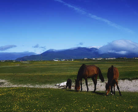 Co Kerry, horses in Kilshannig near Castlegregory, Ireland Stock Photo - 7188589