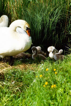 the irish image collection: Swans and Cygnets