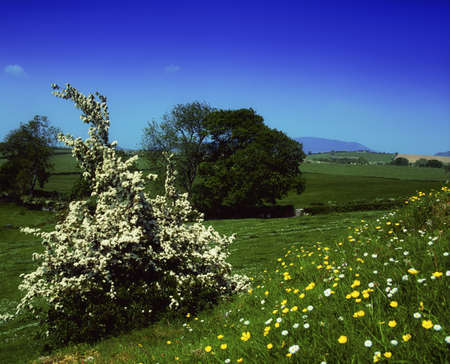 Hawthorn blossom and wildflowers, Co Louth, Ireland Stock Photo - 7188318