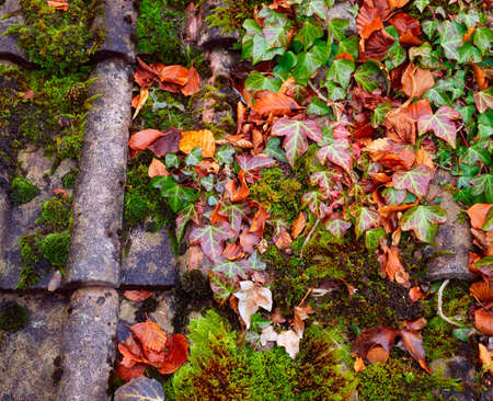 Ivy and moss on a rooftop Stock Photo - 7188042