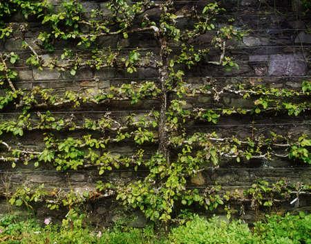 statuary garden: Espaliered Apple Tree