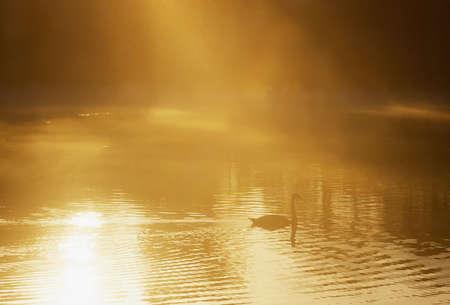 sepias: Swan on misty lake, Ireland