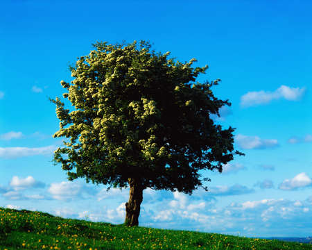 the irish image collection: White Hawthorn tree Stock Photo