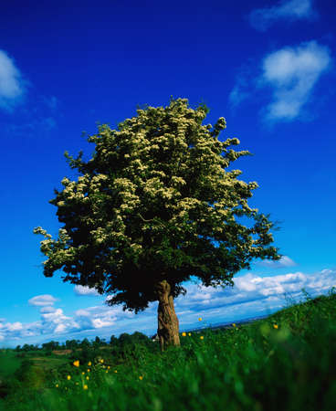 White hawthorn photo
