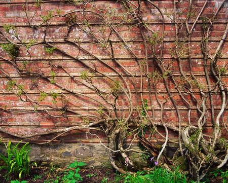 statuary garden: Wisteria climbing garden wall