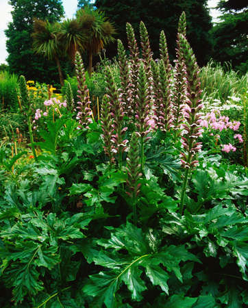 mollis: Acanthus Mollis Stock Photo