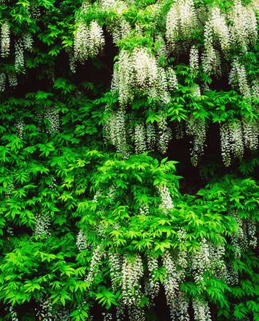 the irish image collection: Wisteria Stock Photo