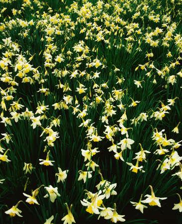 statuary garden: Narcissi