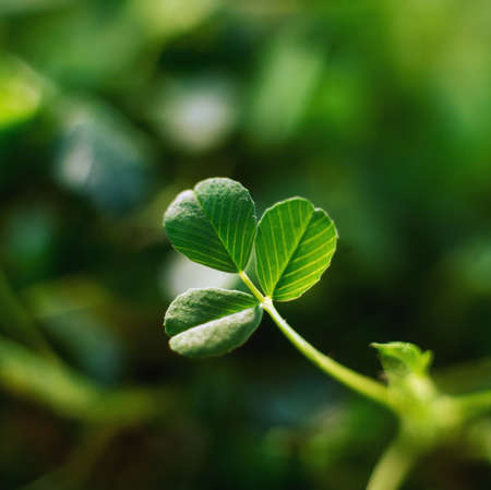 крупные планы: Single Leaf of Shamrock