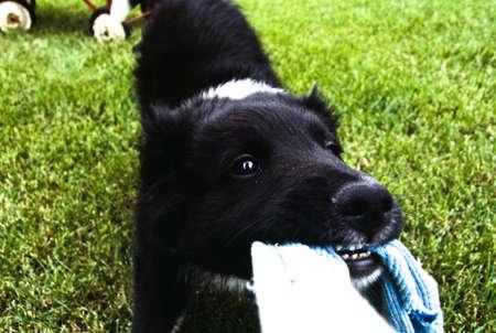 kampfhund: Puppy spielen Tauziehen