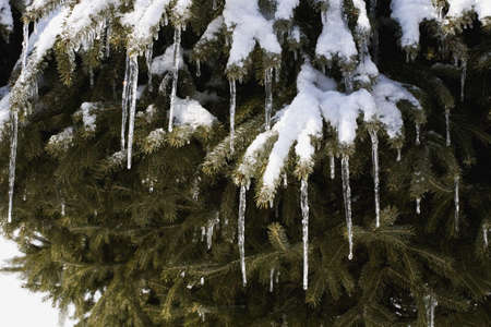 Pine tree covered in snow and icicles photo