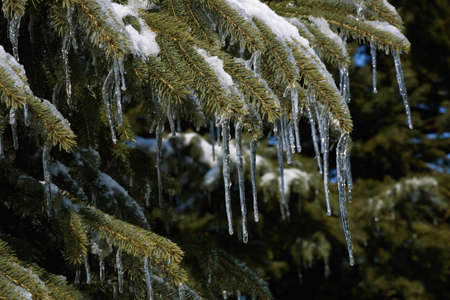Pine tree covered in snow and icicles Stock Photo - 7286071