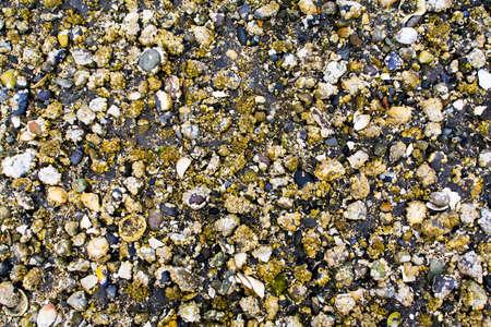 barnacles: Columbia britannica, Canada; primo piano di conchiglie e lepade  Archivio Fotografico
