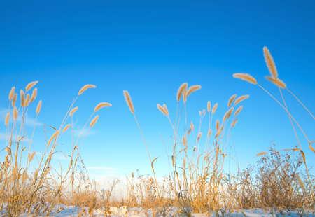 knorr: Ears of wheat