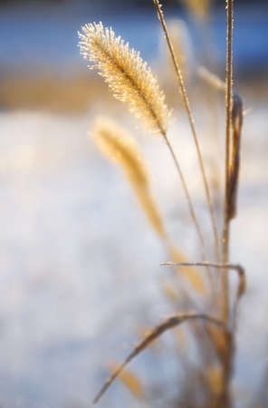 knorr: Close-up of ears of wheat