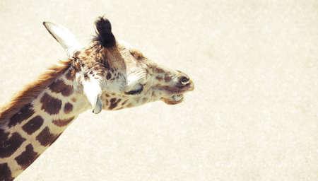 wildanimal: A giraffe