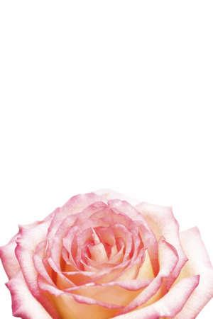 knorr: Rose