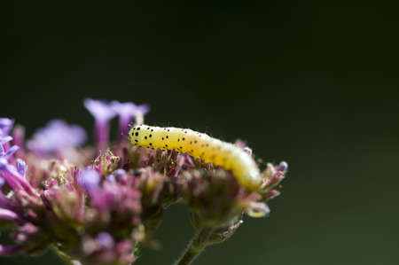 levit: Yellow caterpillar on a flower Stock Photo