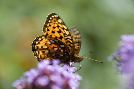 pollinators: Butterfly on flower