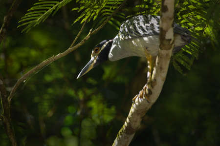 Green-backed Heron in a tree, Costa Rica Stock Photo