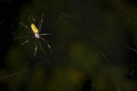 arachnids: Golden silk spider