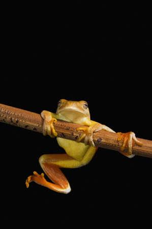 treefrog: Swamp frog (Limnonectes Leytensis) Stock Photo