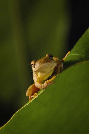 Swamp frog (Limnonectes Leytensis) Stock Photo