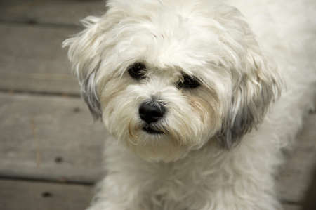 Lake of the Woods, Ontario, Canada; Lulu, a Bichon Maltaise photo