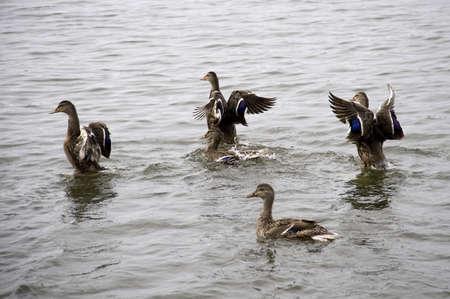 wildanimal: Lake of the Woods, Ontario, Canada; Group of ducks floating on lake Stock Photo