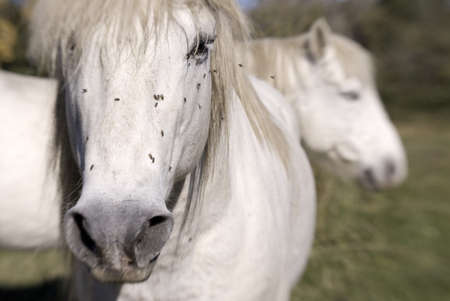 eyecontact: Two white horses
