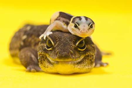 Baby African Fat-tailed Gecko lying on top of its parent Stock Photo