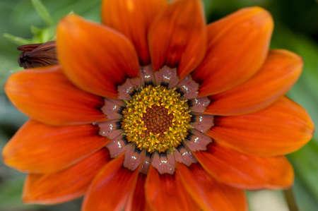 levit: Lake of the Woods, Ontario, Canada; A Mexican Sunflower (Tithonia Rotundifolia)    Stock Photo