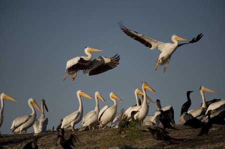 levit: Lake of the Woods, Ontario, Canada; Pelicans