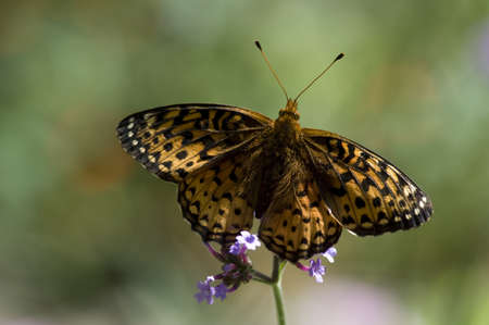Lake of the Woods, Ontario, Canada; Butterfly gathering nectar from flower photo