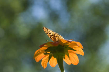 macrophotography: Lake of the Woods, Ontario, Canada; Butterfly gathering nectar from flower Stock Photo