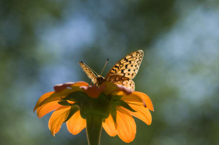 Lake of the Woods, Ontario, Canada; Butterfly gathering nectar from flower Stock Photo