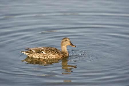 wildanimal: Edmonton, Alberta, Canada; Duck in a lake at Hawrelak Park Stock Photo