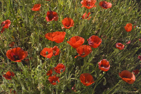 andalucia: Andalucia, Spain; Red Poppies with Spring Flowers Stock Photo