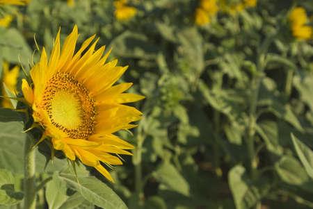 Andalucia, Spain; Sunflowers, Helianthus Annuus photo