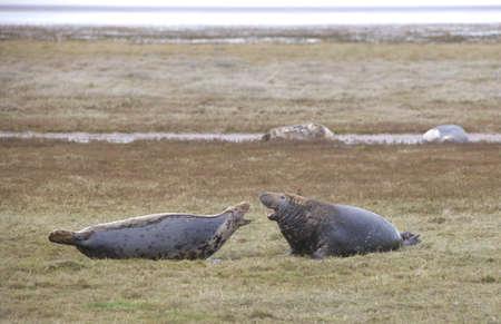 wildanimal: Gray Seal (Halichoerus grypus), Donna Nook, Lincolnshire, England; Adult seal communicating