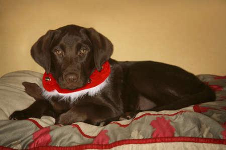 eyecontact: Dog with Christmas collar