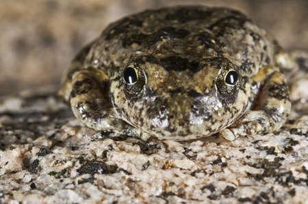 wildanimal: California tree frog,(Pseudacris cadaverina), Cabazon, California, USA