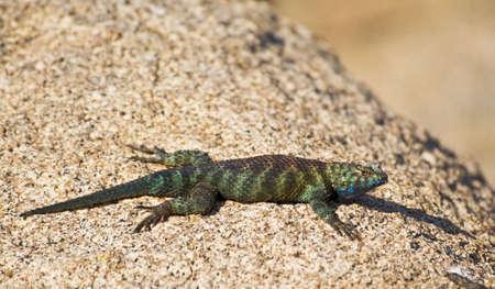 spiny: Granite spiny lizard, (Sceloporus orcutti)in breeding coloration