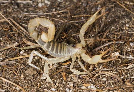 scorpion: Scorpion poilu du d�sert g�ant (Hadrurus arizonensis) Banque d'images