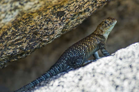 spiny: Granite spiny lizard (Sceloporus orcutti)