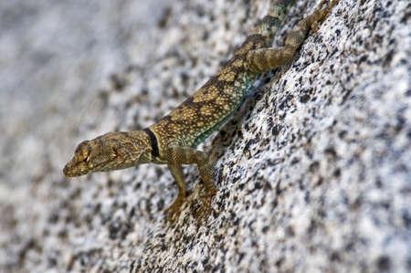 wildanimal: Banded rock lizard (Petrosaurus mearnsi mearnsi)