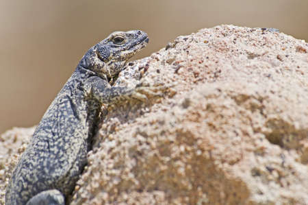wildanimal: Chuckwalla (Sauromalus ater)
