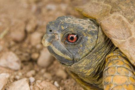 wildanimal: Desert box turtle (Terrapene ornata luteola) Stock Photo
