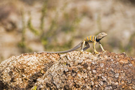 Great Basin collared lizard (Crotaphytus bicinctores) photo